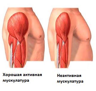 Активная и пассивная мускулатура